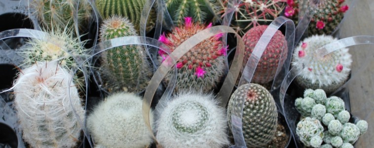 """2.5"""" cactus collection"""