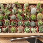 36 Cactus Collection