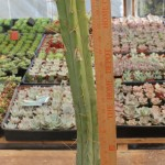 potted Bridgesii