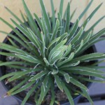 agave for sale